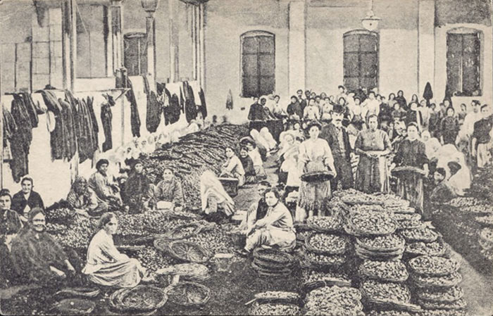 Sorting of figs, 1910s